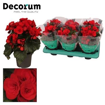Begonia ''baladin'' rood 13cm Decorum