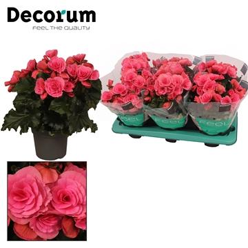 Begonia ''berseba'' paars 13cm
