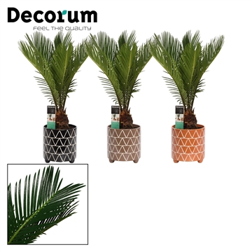 Cycas Revoluta 12 cm in Fee (Stone Touch-collection)