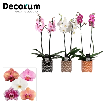 Phalaenopsis 2 tak mix in Fee (Stone Touch-collection)