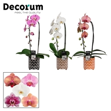 Phalaenopsis cascade 1 tak mix in Fee (Stone Touch-collection)