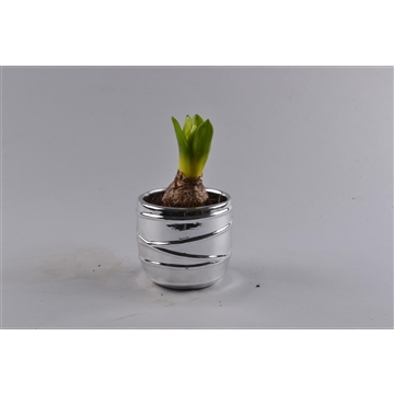 Hyacinthus in Chroomstreep pot