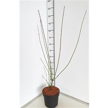 Acer palm. 'Jerre Schwartz' 60-80C7