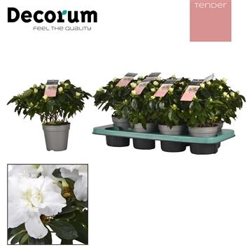 Azalea 12 cm wit Tender Decorum