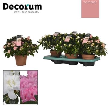 Azalea 14 cm wit Tender Decorum