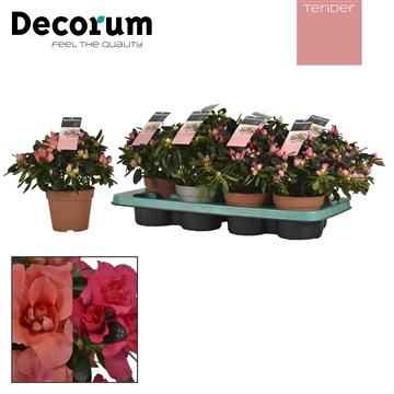 Azalea 12 cm Mix Tender Decorum