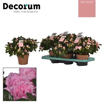 Azalea 14 cm roze Tender Decorum