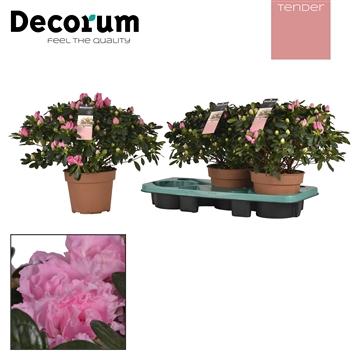 Azalea 17 cm Roze Tender  Decorum