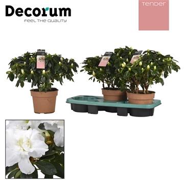 Azalea 17 cm wit Tender Decorum