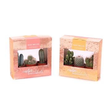 3x cactus 5,5 cm in kartonnen desert dwellers doosje