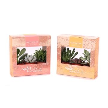 3x succulent 5,5 cm in kartonnen desert dwellers doosje