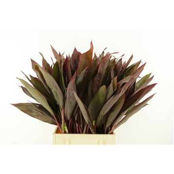 Cordyline Ivory Red Top