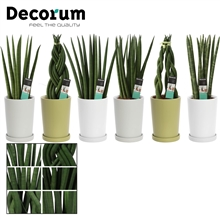 Sansevieria Cylindrica 12 cm mix in Sarah (Soft Illusion-coll.)