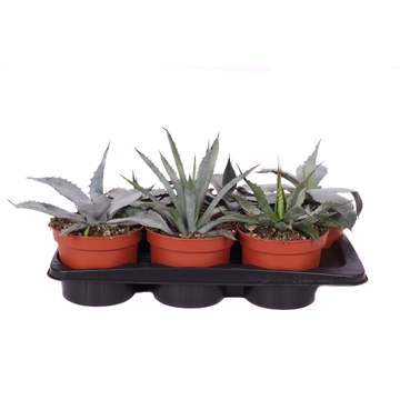 Agave mix 17 cm