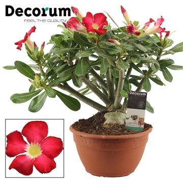 Adenium rood 20 cm (Decorum)