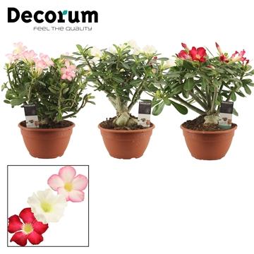 Adenium gemengd 20 cm (Decorum)