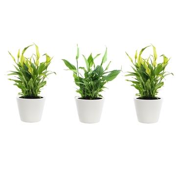 Spathiphyllum 10,5 cm Rondo Easter Make Upz in Karla keramiek