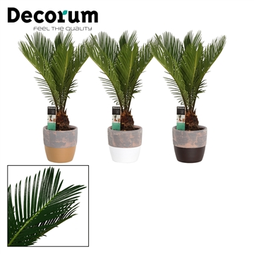 Cycas Revoluta 12 cm in Texas (Stone Touch-collection)