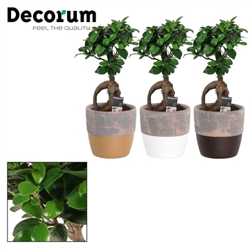 Ficus Ginseng Bonsai geënt 12 cm in Texas (Stone Touch-collect.)