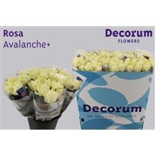 Rosa Avalanche+ a 7 flowers (price per bunch)