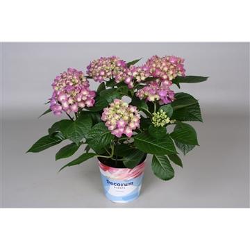 Hydrangea Bol lila 7/8 bloem