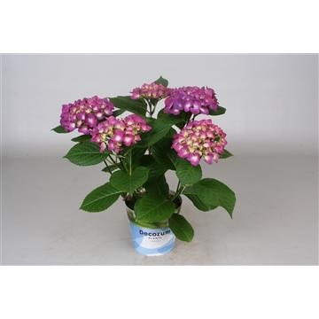 Hydrangea Bol lila 5/6 bloem