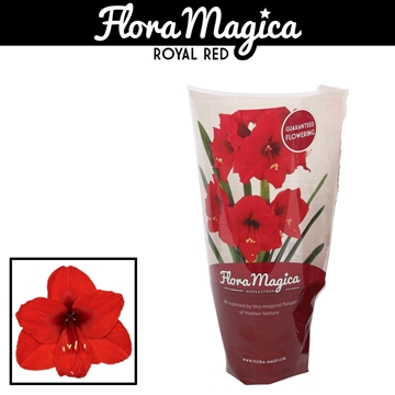 Hippeastrum Royal Red 1 Knop FM Hoes