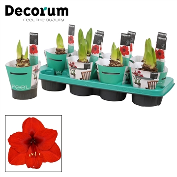Hippeastrum Royal Red 2 knop Extra OP in Potcover (Decorum)