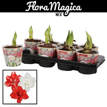 Hippeastrum Dubbelbl. Mix 2 Knop Extra in Potcover