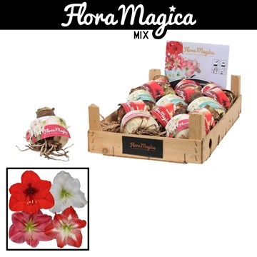 Hippeastrum 30/32 Bulb Mix in Wooden Crate