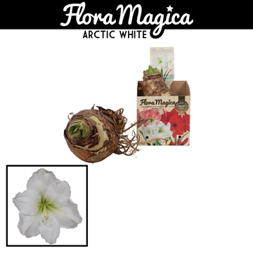 Hippeastrum 38/40 White in Bulb Box