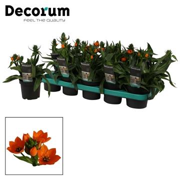 Ornithogalum Dubium 3pp oranje (Decorum)