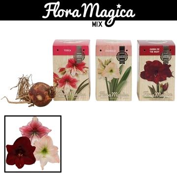 Hippeastrum 22/24 Exclusieve Soorten in Gift Box Brilliant