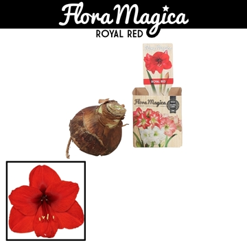 Hippeastrum 30/34 Red in Bulb Box