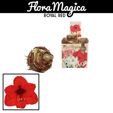 Hippeastrum 42/44 Red in Bulb Box
