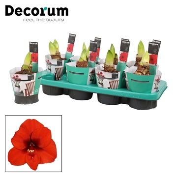 Hippeastrum Merry Christmas 2 Knop in Potcover (Decorum) XL flwr