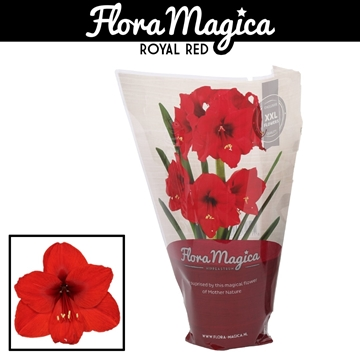 Hippeastrum Royal Red 2 Knop OP in FM Hoes