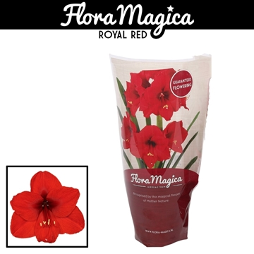 Hippeastrum Royal Red 2 Knop FM Hoes
