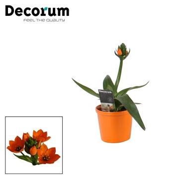 Ornithogalum Dubium Oranje 1pp in Ompot Annabel (Decorum)