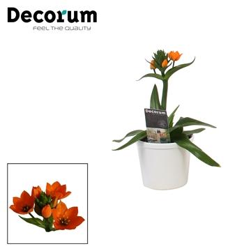 Ornithogalum Dubium Oranje 1pp in Ompot Annabel Wit (Decorum)
