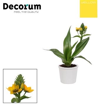 Ornithogalum Dubium Geel 1pp Annabel Wit (Decorum)