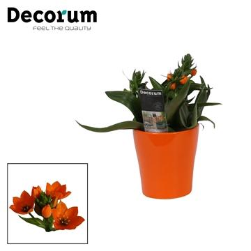 Ornithogalum Dubium Oranje 3pp in Ompot Amy Oranje (Decorum)