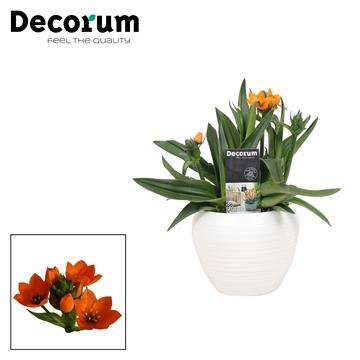Ornithogalum Dubium Oranje 3pp in Ompot Melanie Wit (Decorum)