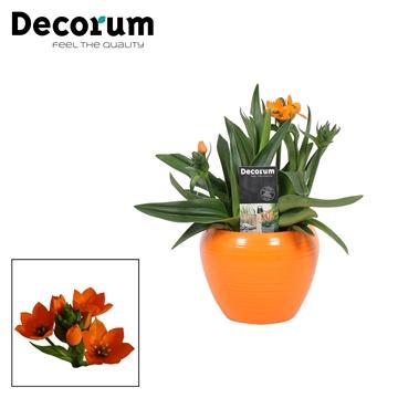 Ornithogalum Dubium Oranje 3pp in Ompot Melanie Oranje (Decorum)