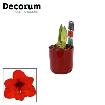Hippeastrum Rood 2 Knop in Glaspot Claudia Rood (Decorum)