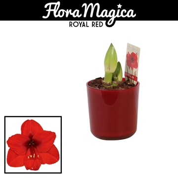 Hippeastrum Rood 2 Knop in Glaspot Claudia Rood