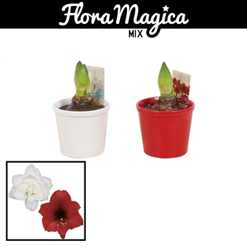 Hippeastrum Mix 2 Knop in Ompot Annabel