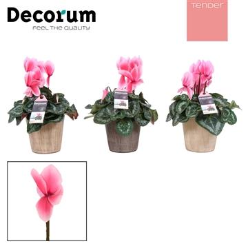 Cyclaam Lovely Moments Savanne (Decorum)