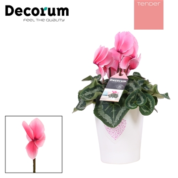 Cyclaam Lovely Moments Britt (Decorum)