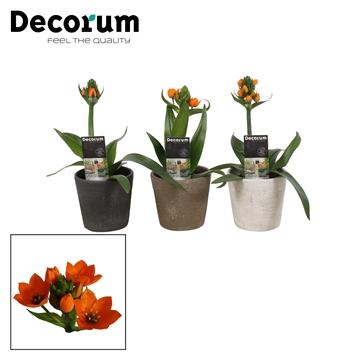 Ornithogalum Dubium Oranje 1pp in Ompot Luna (Decorum)